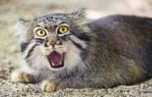 Le chat de Pallas, cet animal méconnu qui a une bonne tête