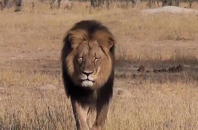 Que retenir de la mort de Cecil le Lion ?
