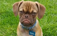Earl the Grumpy Dog, le nouvel animal star d'Internet