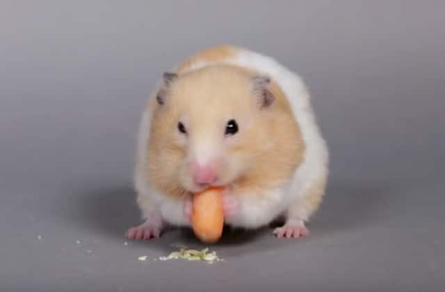« 100 Years of Hamster Beauty» revient sur les looks beauté cultes de nos rongeurs préférés