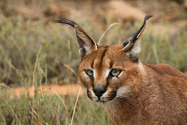 felins-chats-caracal-2