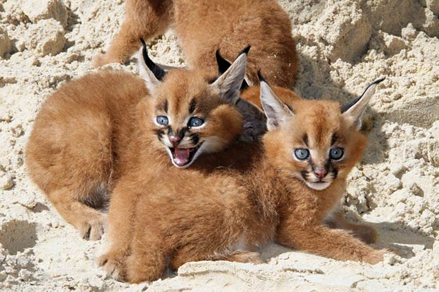 felins-chats-caracal-chaton
