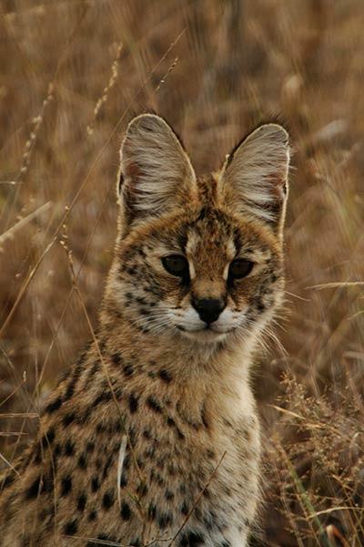felins-succes-chat-2-serval-1