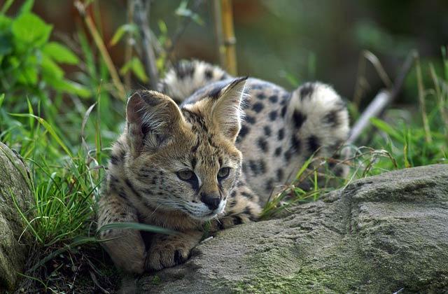 felins-succes-chat-2-serval-2