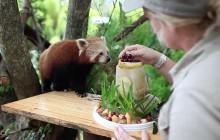 Un panda roux fête son anniversaire et c'est TELLEMENT CHOU