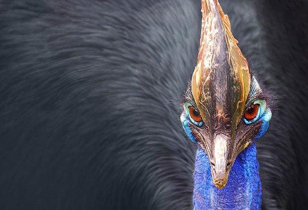 oiseaux-psychopathes-casoar-1