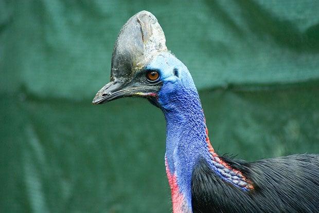 oiseaux-psychopathes-casoar-2
