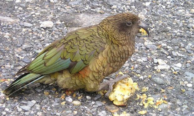 oiseaux-psychopathes-nestor-kea-1