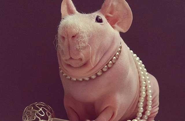 Ludwik, le cochon d'Inde imberbe qui pose comme un pro