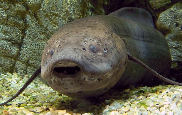 poisson-terreurs-dipneuste