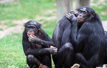 Les bonobos baisent beaucoup plus que nous (et mieux que les chimpanzés)