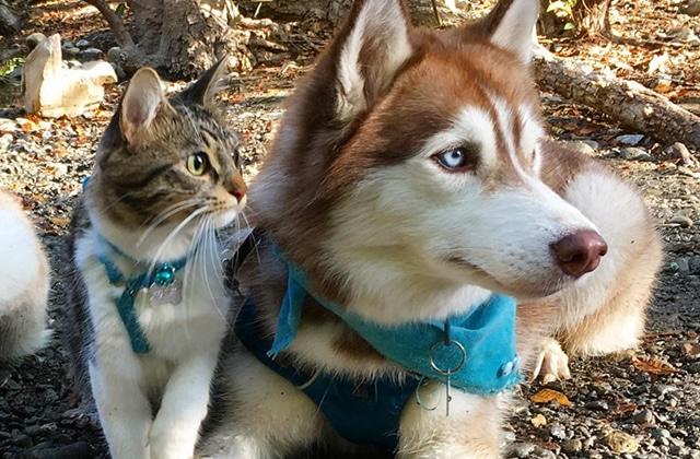 Un chat élevé parmi les chiens, ça donne… Rosie le matou qui se prend pour un husky!