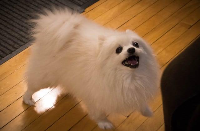 Gabe the Dog, le chien musical, est mort