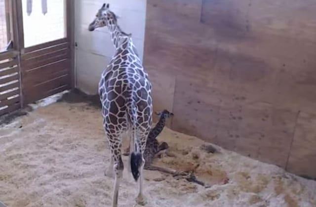 [MÀJ] Le girafon d'April est là !!!