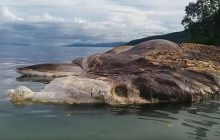 Découvrez l'énorme bestiole des profondeurs échouée en Indonésie