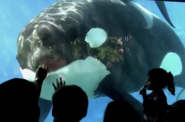La captivité des dauphins et des orques est vouée à disparaître en France!