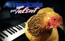 Jokgu la poule mélomane éliminée d'America's got talent: drame et consternation