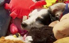 Chaser, la chienne super maline qui connaît plus de 1000 mots