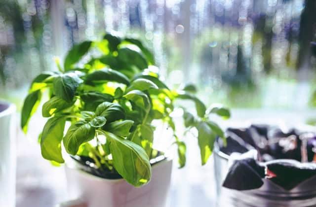 Comment garder les herbes aromatiques en vie plus d'une journée?