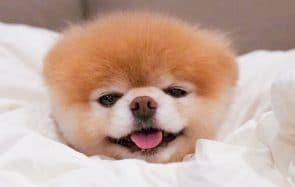 Boo, le chien le plus mignon du monde, est mort