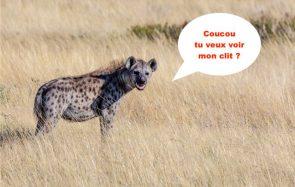 Pourquoi le clitoris des hyènes tachetées me fascine