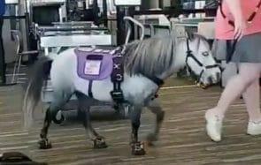 Que fait ce mini poney dans un aéroport ?