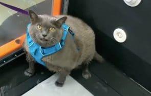 La remise en forme émouvante d'un chat obèse fait le buzz