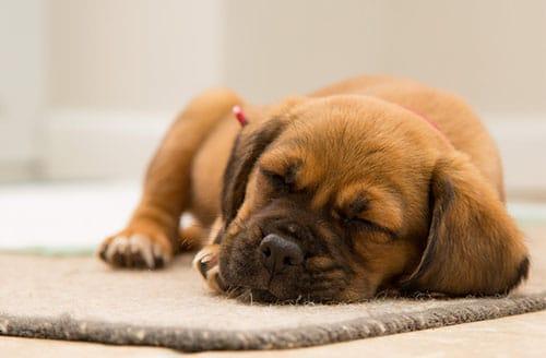À quoi rêvent les chiens ? Le sommeil des animaux expliqué