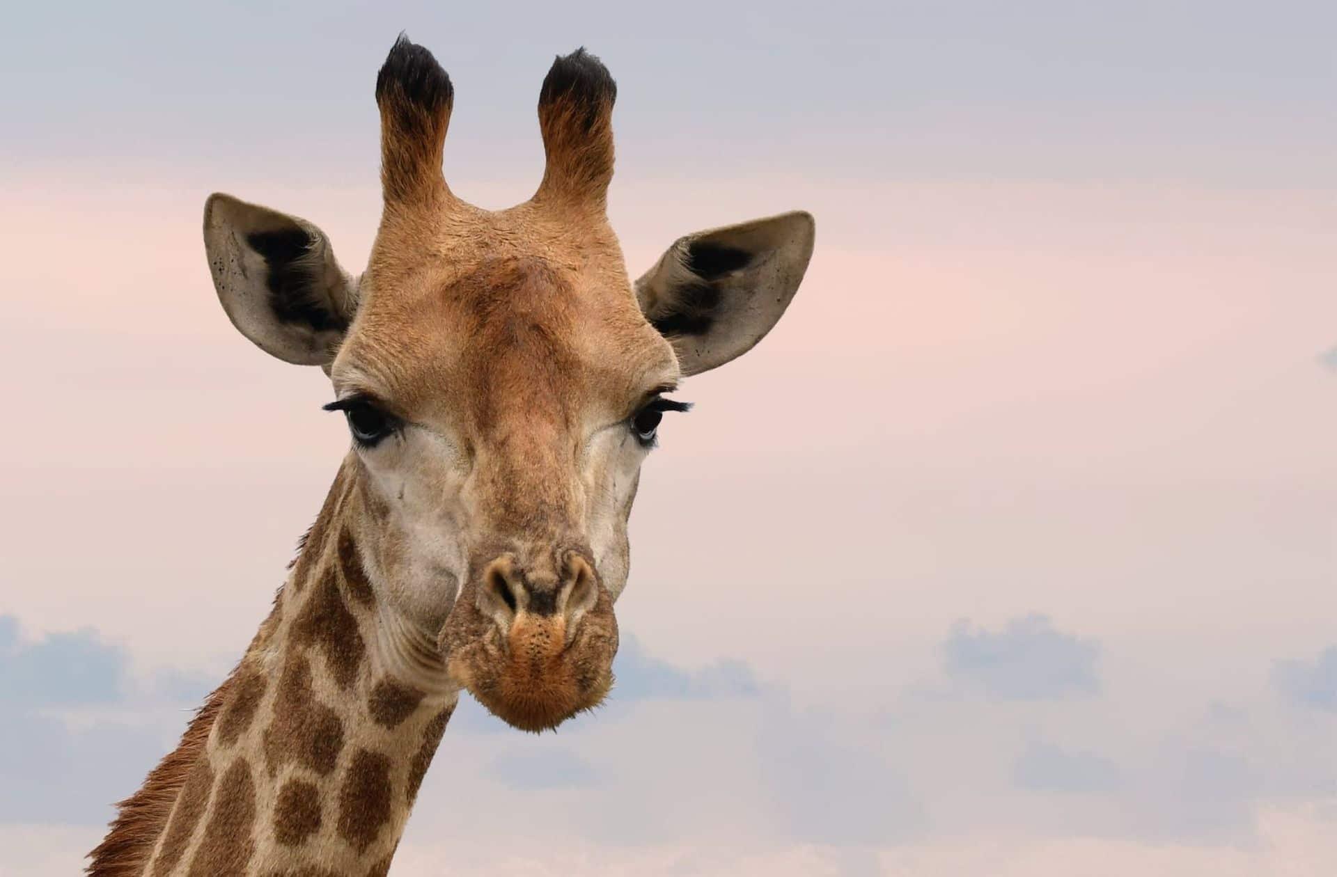 Sophie la girafe vient à la rescousse des «vraies» girafes !