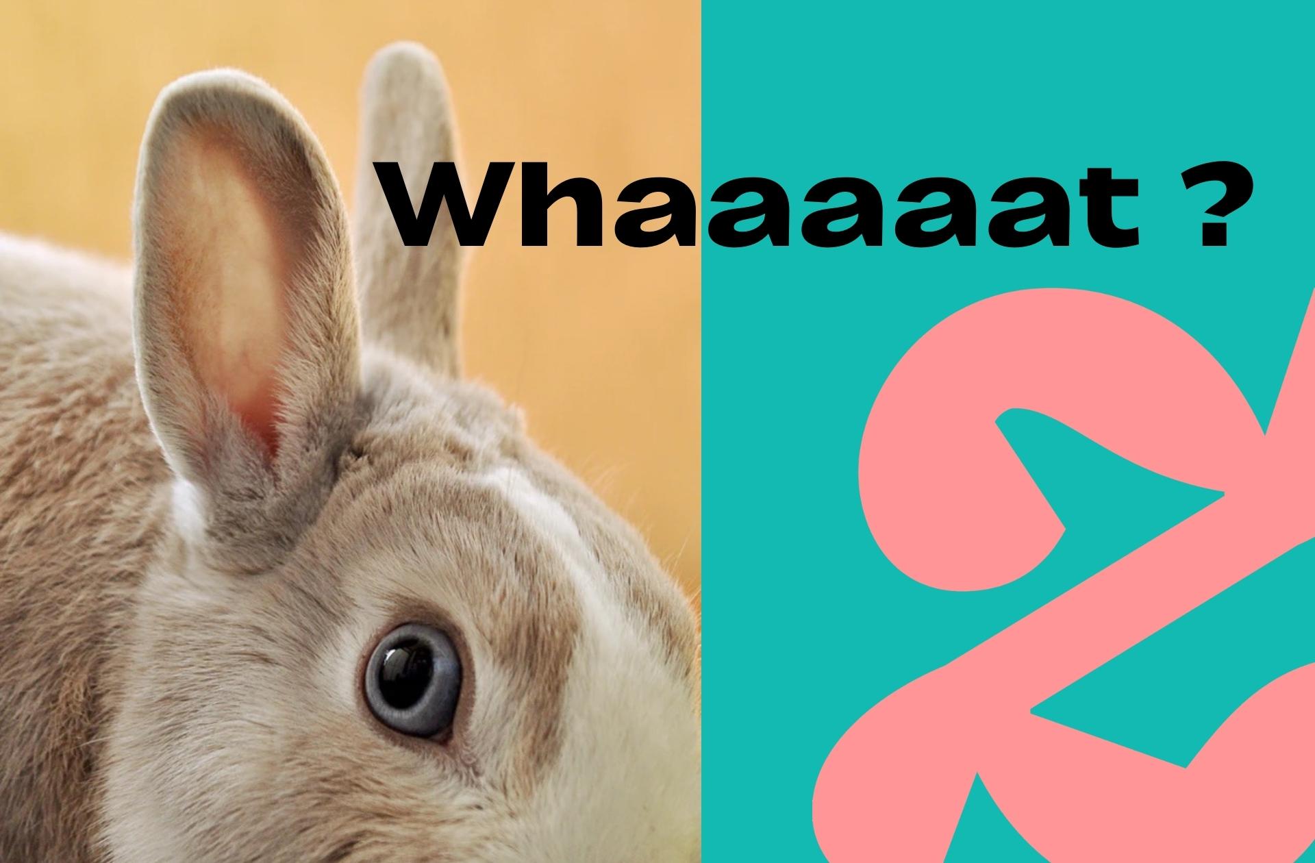 Les tests de grossesse à l'ancienne ? Tuer des lapins (si, si)